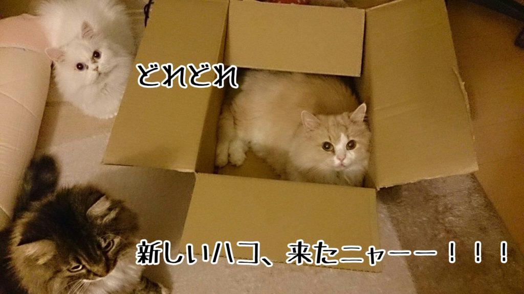 ニュー箱が来たら、まず入って座り心地を確認しないと気がすまないらしい