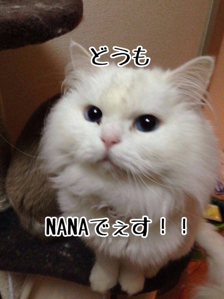 娘のNANAちゃんもお母さん譲りのなかなかすごい性格。先輩猫のヒューイ君を尻に敷いているらしい