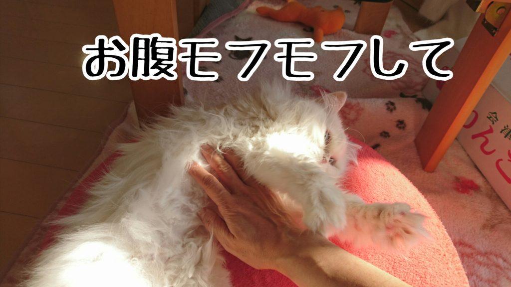 足を暖めた後は、手でお礼のお腹ナデナデ。花ちゃん、気持ちよくて空中モミモミしています