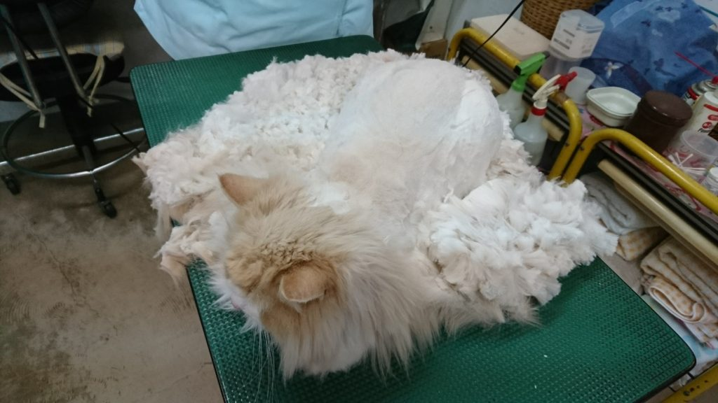 羊の毛刈りを彷彿とさせる、ちゃんすけのトリミング風景